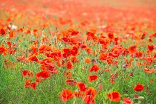 Field of Poppies, Ian Britton, courtesy FreeFoto.com 9905-07-1
