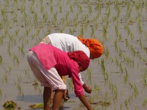 Women planting rice in rural Nepal, by Rosemary Hale