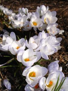 drift of white crocus blossoms